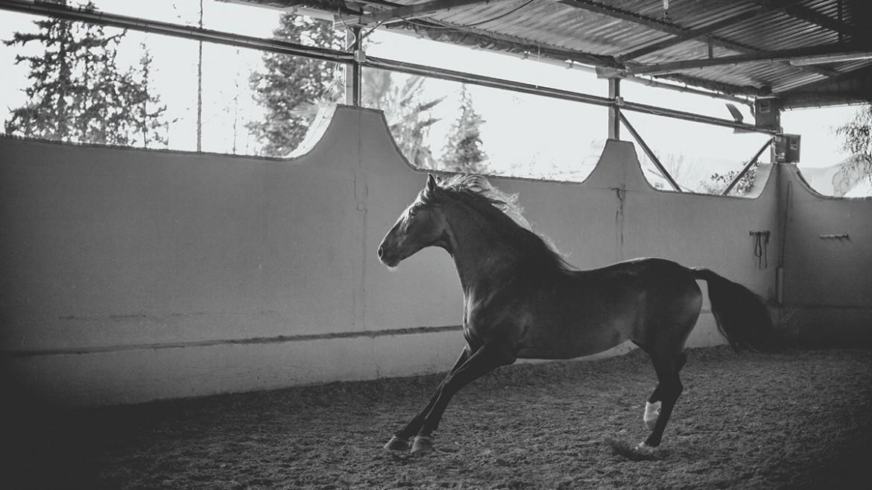 Equinos pura raza