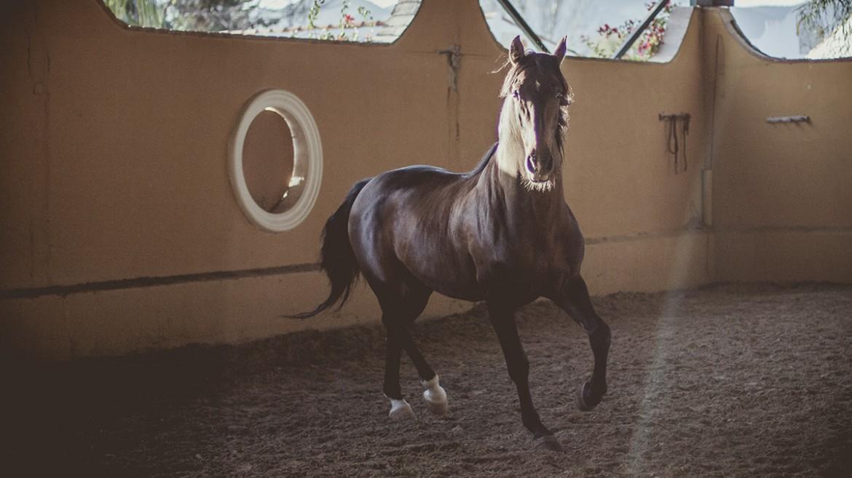 Equinos castaño español
