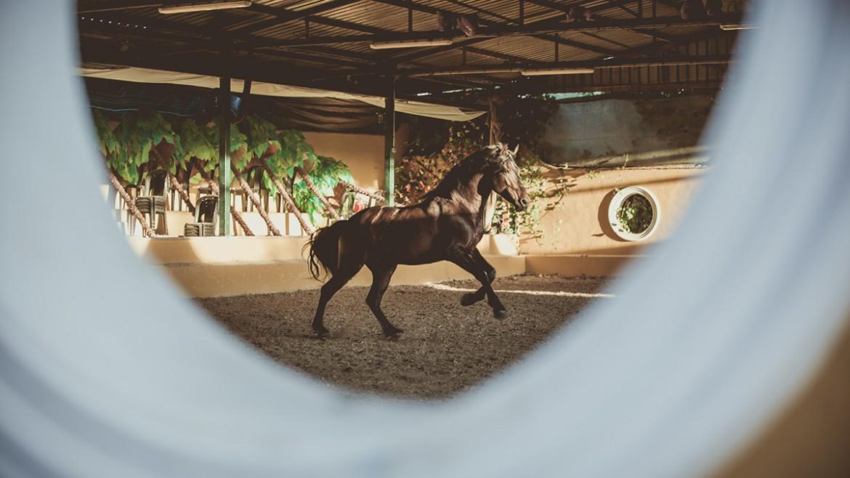 Caballo de pura raza española 26